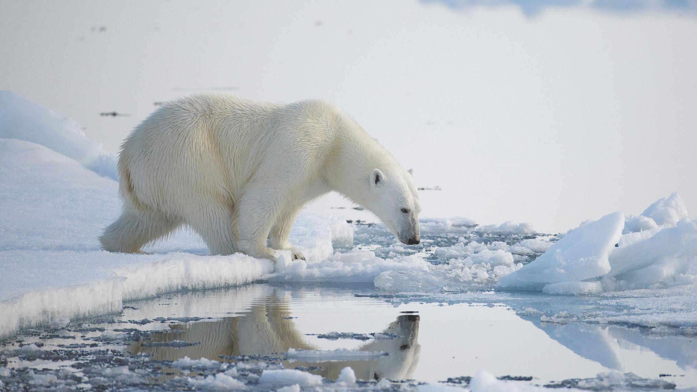 earth-day-polar-bear